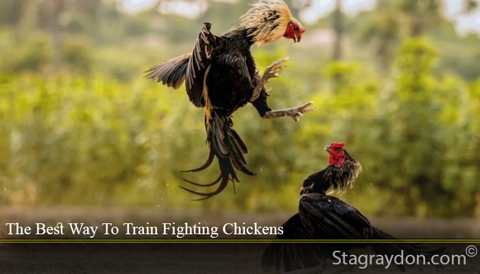 The Best Way To Train Fighting Chickens